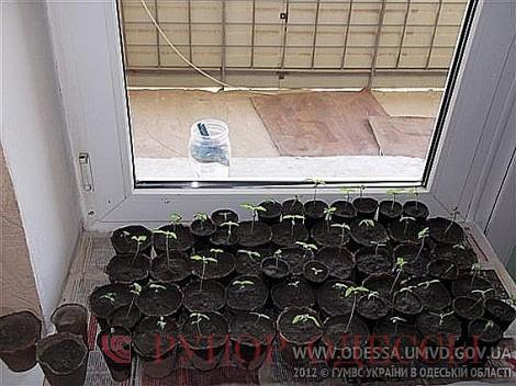 Как правильно посадить семена конопляные в домашних условиях